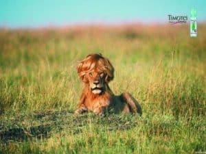 Beautiful Lion Memorable Ad